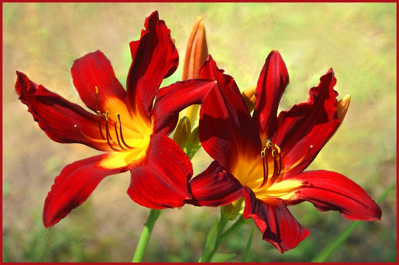 Red Lillys 1 card
