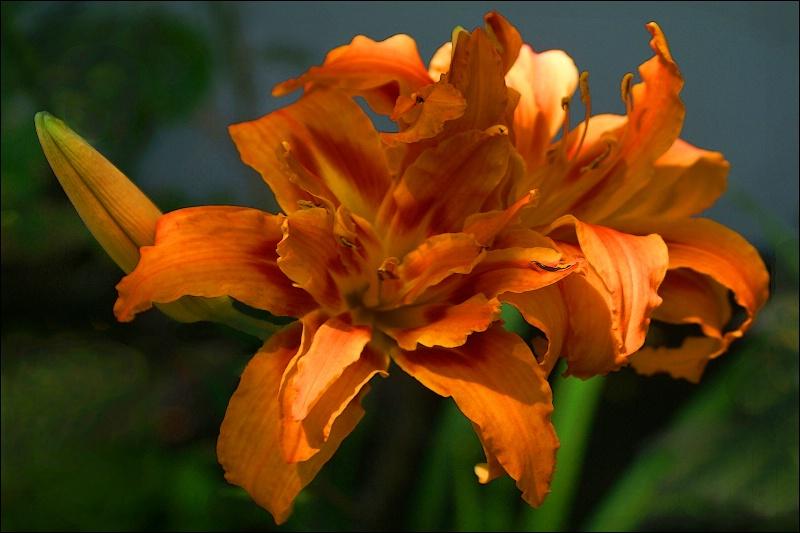 Two Sunlit Orange Lillies 1 card