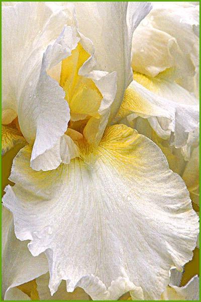 White Gladiola  card