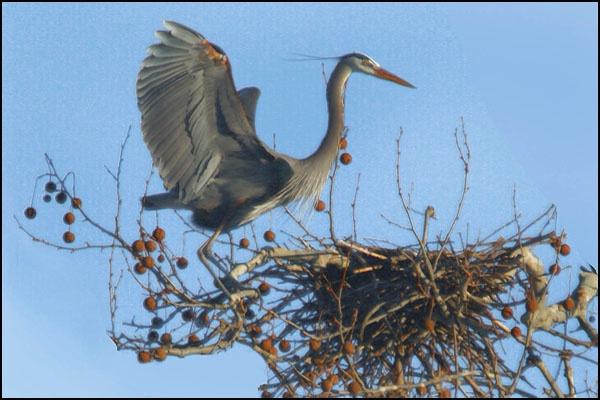 Heron at Nest card