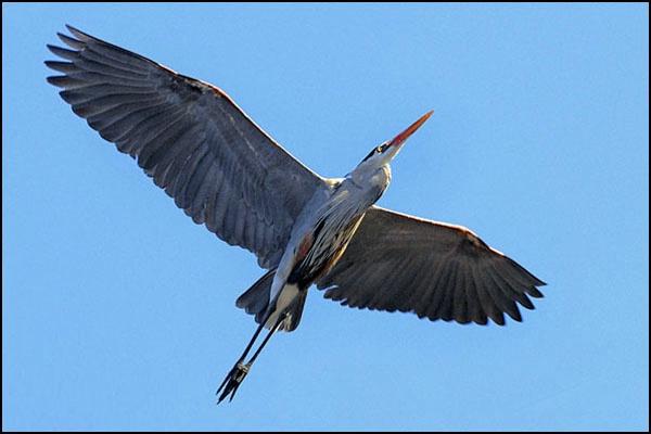 Heron in Full Flight card