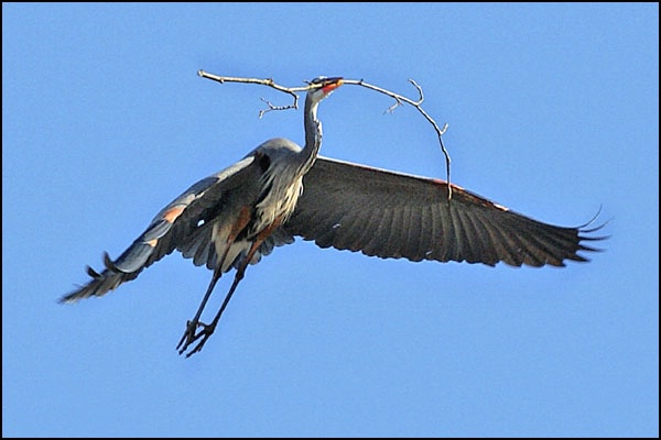 Heron with Branch 1 card