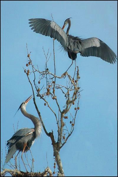 Herons Approaching Nest 2 card