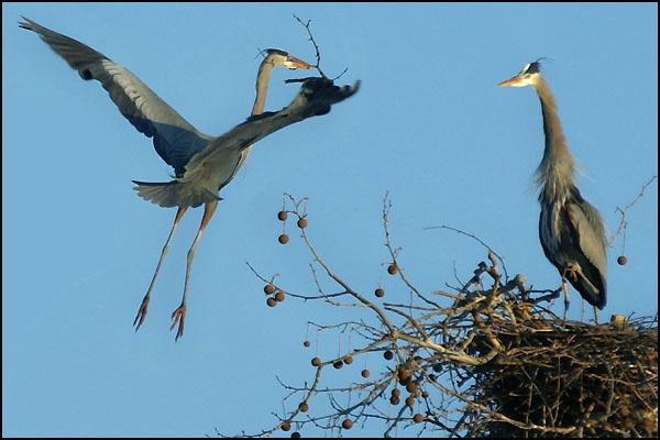 Herons Approaching Nest card