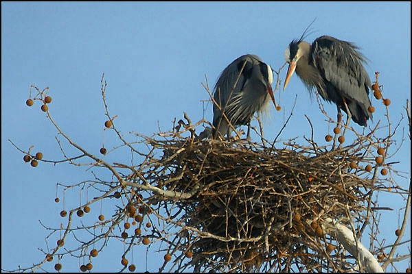 Herons Two in Nest card