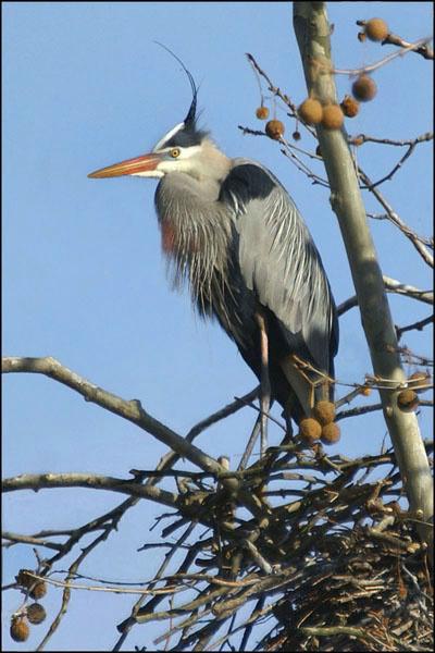 Lone Heron in Tree card