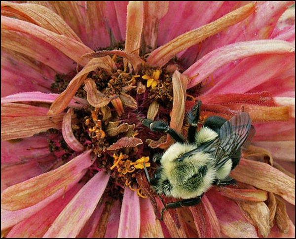 Bee On a Wilting Flower
