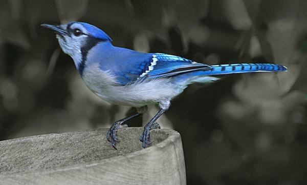 Blue Jay Posing