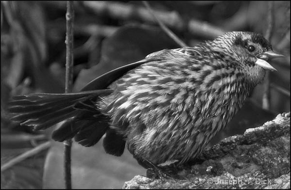 Bird on a Log bw