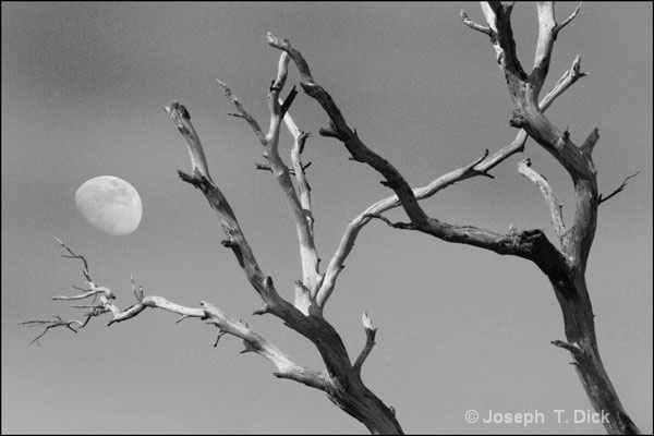Dead Trees with Moon bw