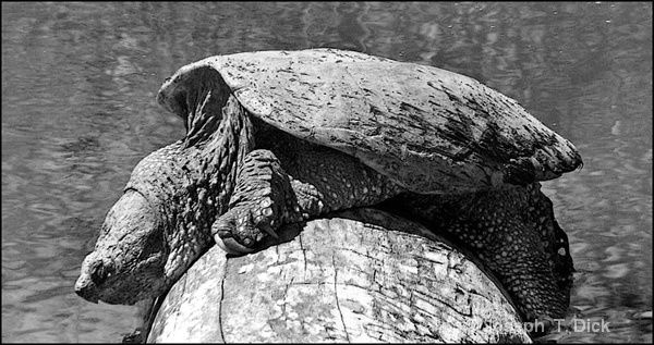 Big Turtle on a Log bw