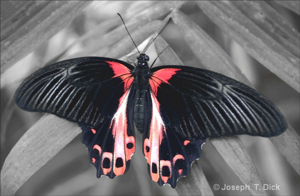 Black  & Red Butterfly bw