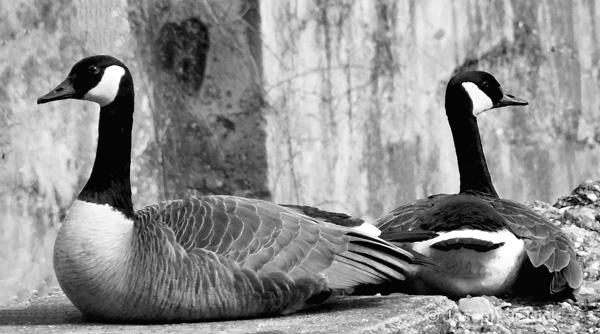 Goose Couple bw