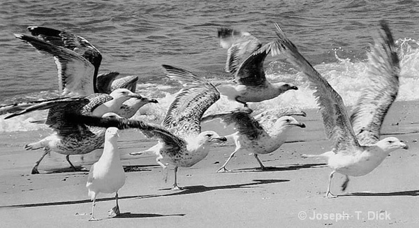 Gulls Taking Off bw