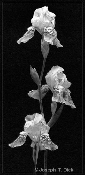 Irises in Black bw
