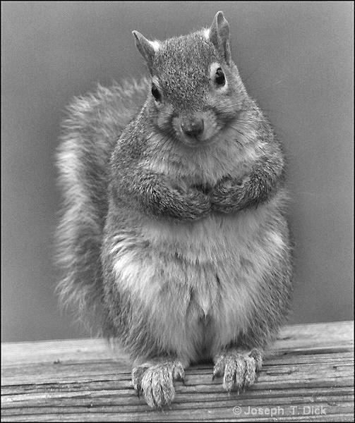 Squirrel bw