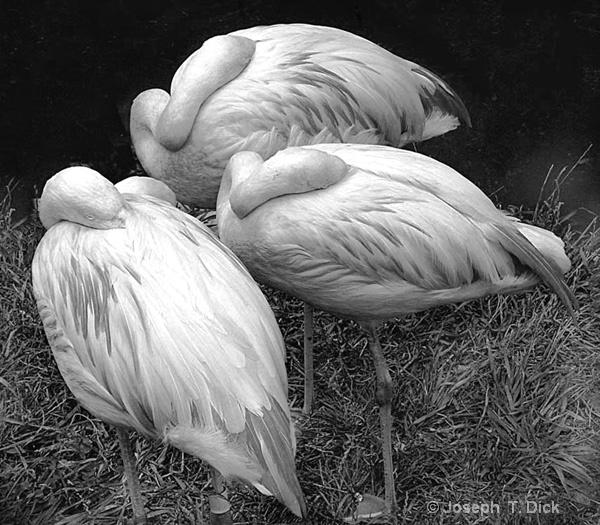Three Flamingos bw