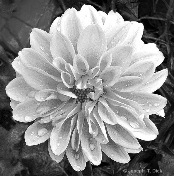 Rain on a  Flower bw