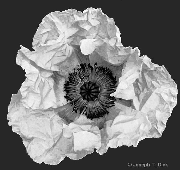 White Poppy bw
