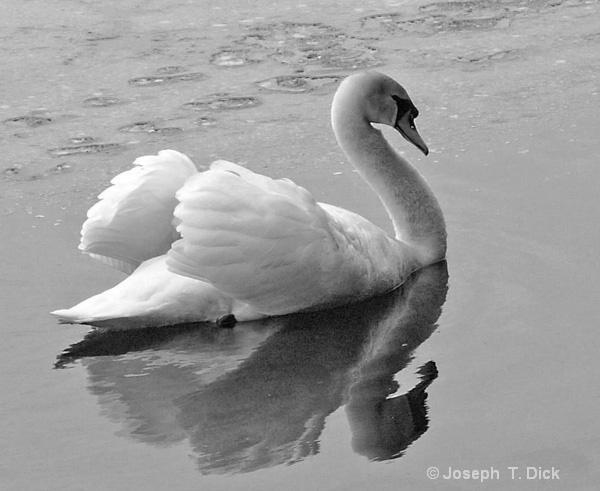 White Swan bw
