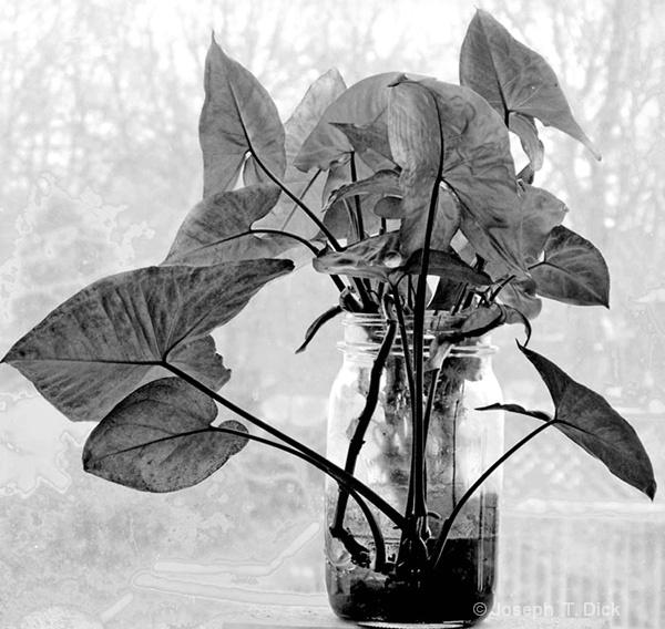Window Plant bw