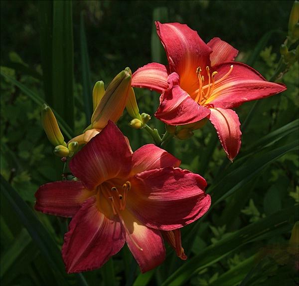 Sunlit Lillies 8