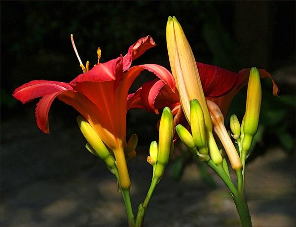 Sunlit Lillies 5