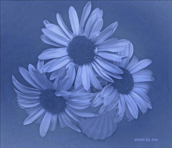 The Three Daisies Blue