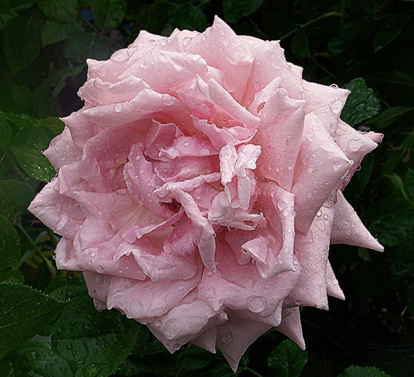 Pink Rose with Rain