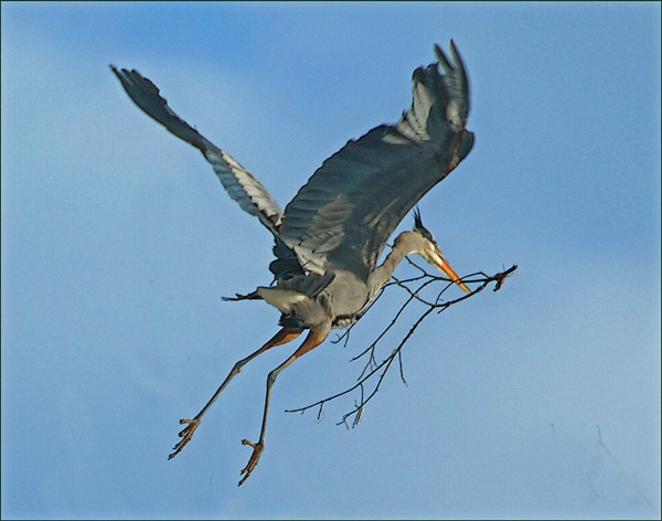 Heron with Branch 2