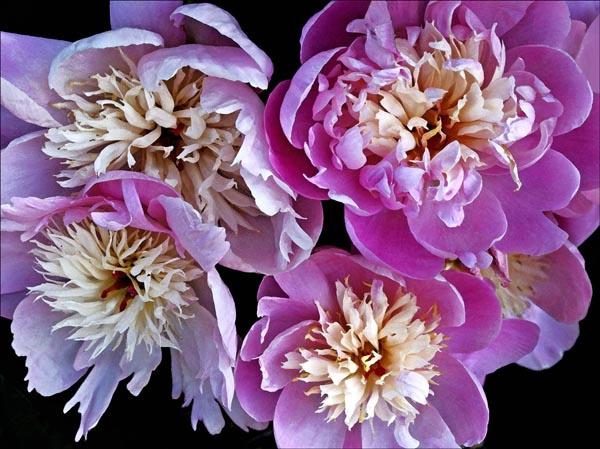 four pink peonies
