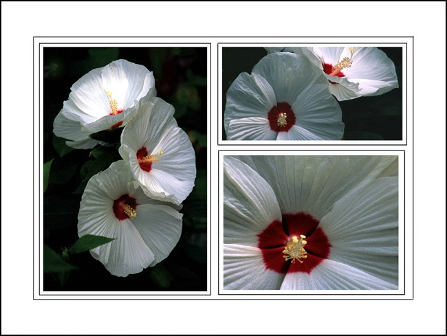 Hibiscus three