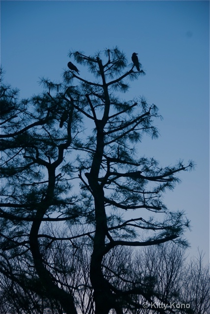 Crows in the Tree Tops at Dawn - YoYogi Park
