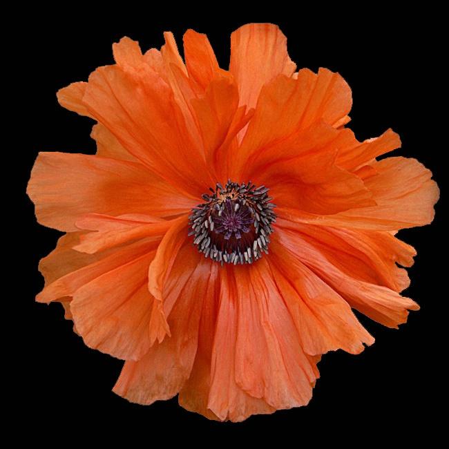 Orange Poppy on Black