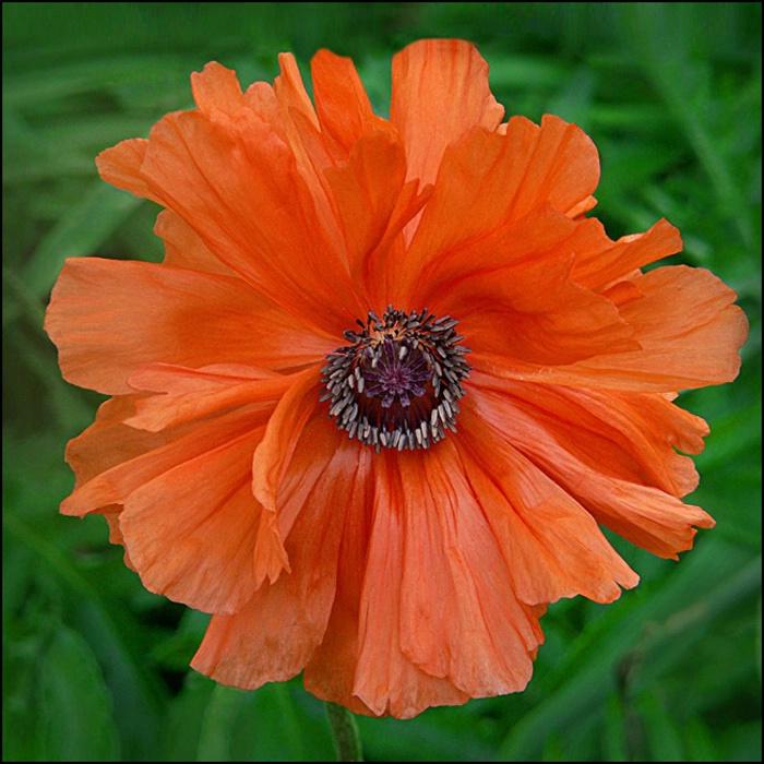 Orange Poppy on Green