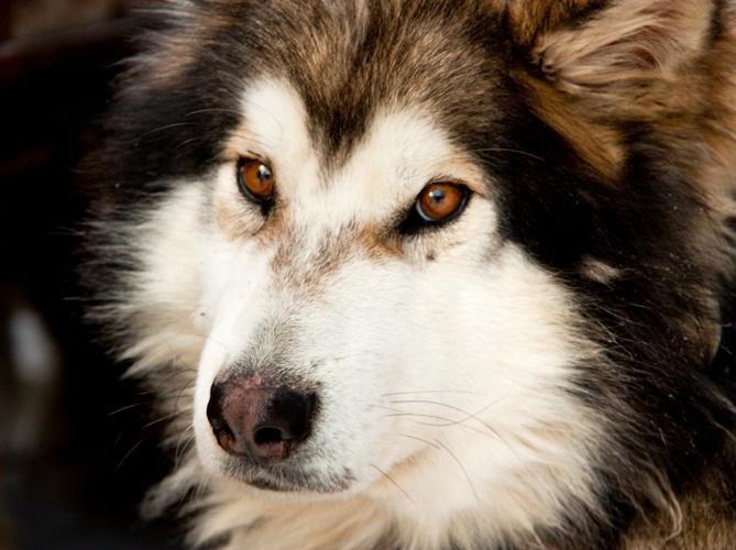 Sled Dog 1