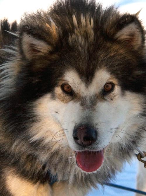 Sled Dog 2