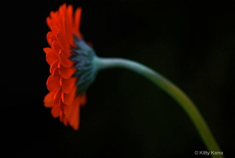 Orange Gerber Daisy Profile