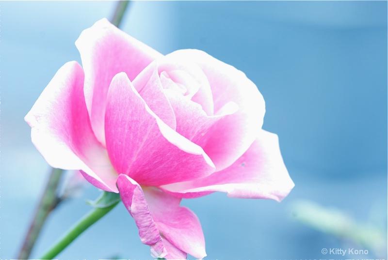 Rose in Pastel