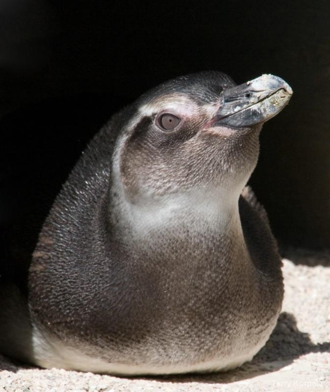 Baby Penguin SF Zoo