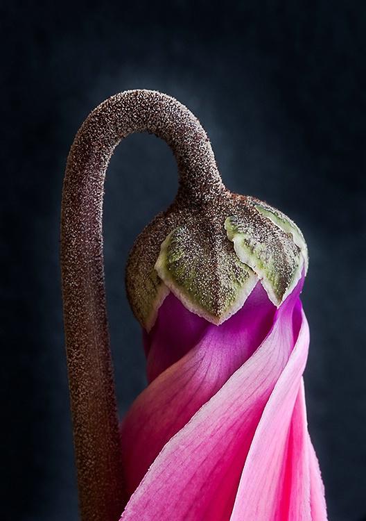 Flower Bud Detail, Cyclamin