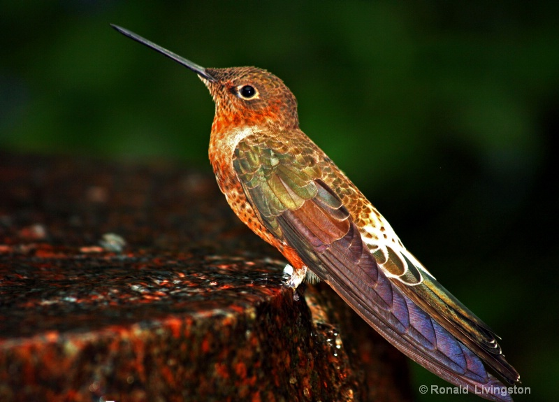 Giant Humming Bird
