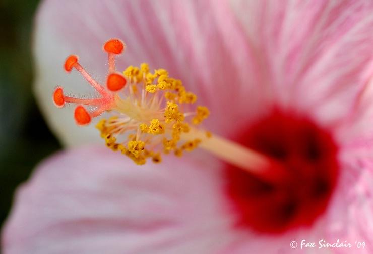 Hibiscus Elements