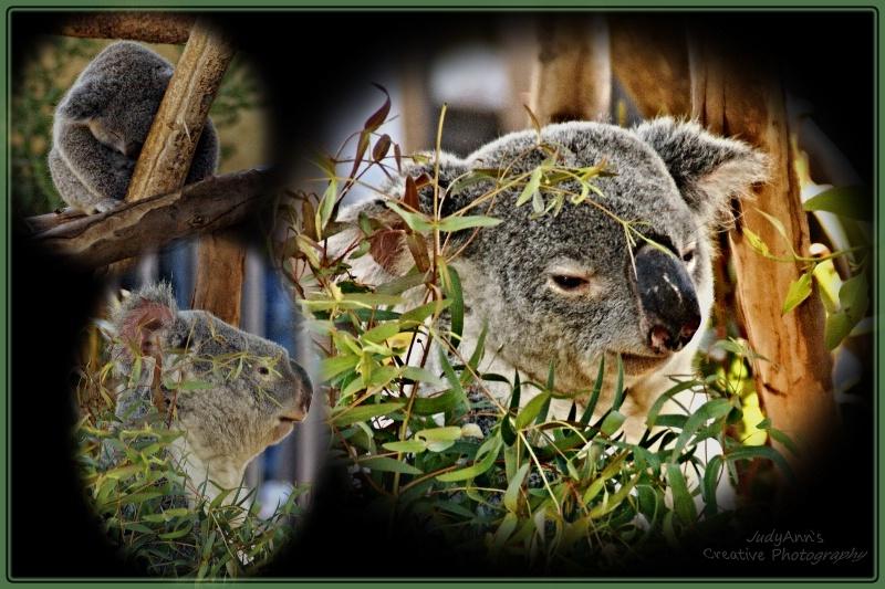Simply Koala