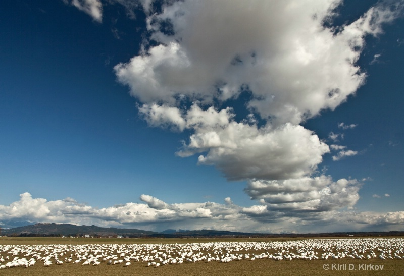 Snow Goose (Anser caerulescens)March-8
