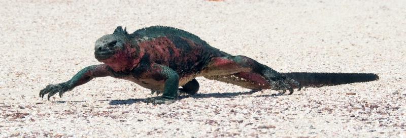 Christmas Iguana on the run
