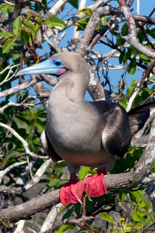 Red Footed Booby 1