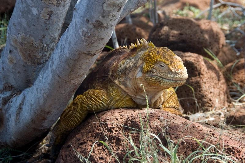 Male land Iguana 1