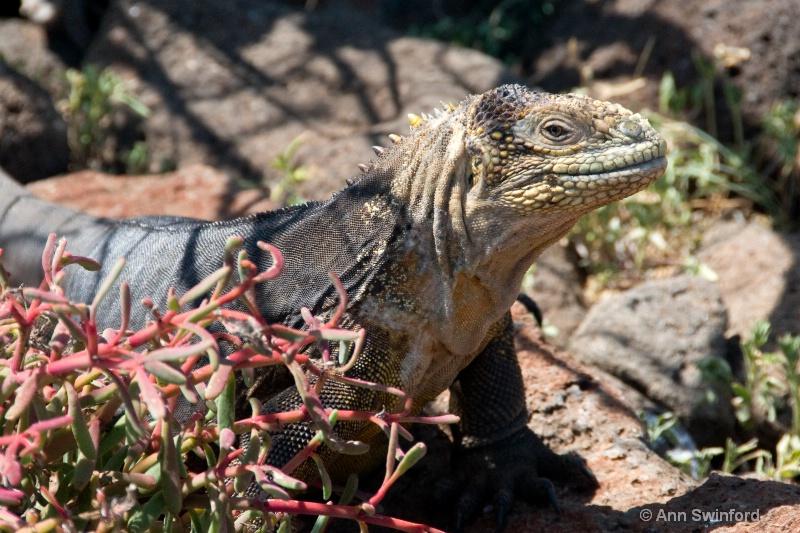 Female Land Iguana
