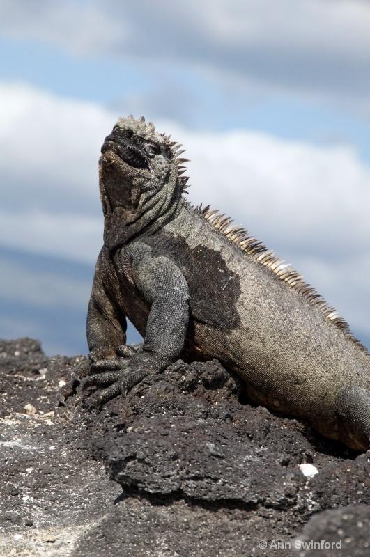 Marine Iguana in the sun